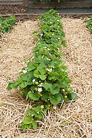 Growing clean strawberry plants in garden rows mulched heavily with straw