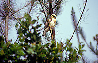A white and grey I'o, or Hawaiian Hawk, sacred as an aumakua in Hawaiian culture, stares with penetrating eyes from a branch of a tree. Species name: buteo solitarius.