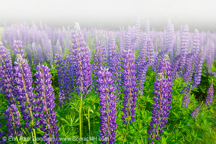 Sugar Hill Lupine Festival - Lupine in Sugar Hill, New Hampshire USA during the spring months, foggy conditions
