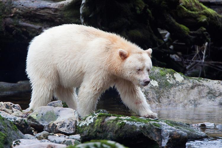 "Kermode ""Spirit"" Bear walking on a mossy rock along a river"
