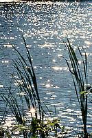 Water reeds, lake, sunlight, shore, vertical, pond, sunlight,