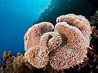 Large convoluted soft leather coral (filter feeder) sways gently in the current, Palau Micronesia. (Photo by Matt Considine - Images of Asia Collection)