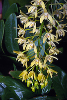 """Dendrobium speciosum orchid species native to Australia, aka Thelychiton. Know as Tar-Beri"""" to aborigines, and """"Rock Lily"""" or """"King Orchid"""" to other Australians"""