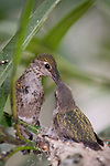 La Jolla, California; a female Anna's Hummingbird (Calypte anna) lands on the edge of her nest, to feed her one remaining three week old chick, it's sibling left the nest earlier in the day