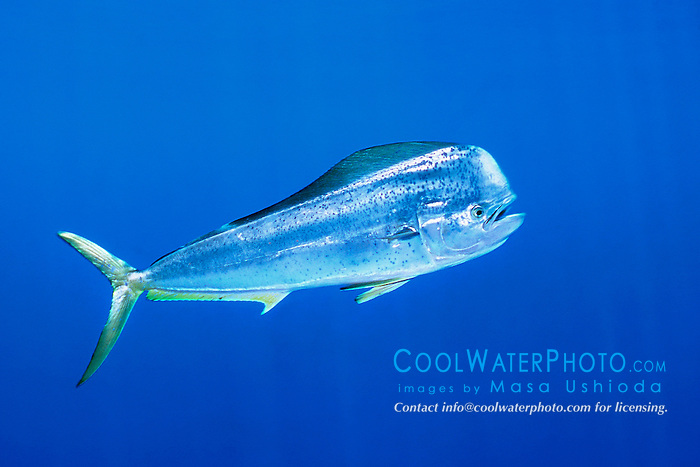 mahi mahi, dolphin fish, or dorado, bull, .Coryphaena hippurus, free-swimming, .at FAD (Fish Aggregation Device), .Kona, Big Island, Hawaii (Pacific)