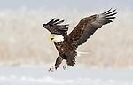 American Bald Eagle, Northern Utah