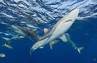 TH4372-D. Silky Sharks (Carcharhinus falciformis), once abundant worldwide, have suffered dramatic reduction of numbers due to shark fishing in the last 20 years. In some regions, populations are now classified as threatened because of intensive fishing for their fins, which are highly valued for shark fin soup popular in Asian markets. Thankfully, sharks are protected in the Gardens of the Queen National Park so this Cuban population appears to be thriving. Cuba, Caribbean Sea.<br /> Photo Copyright &copy; Brandon Cole. All rights reserved worldwide.  www.brandoncole.com