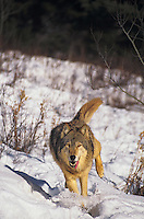 694926006 a captive gray wolf canis lupus runs on a snow covered hillside in montana