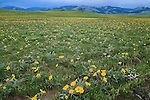 Balsamroot flowers on the East Front of the Rockies in Montana