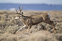 Trophy mule deer buck running through sagebrush in Western Wyoming