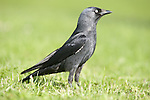 Jackdaw, Corvus monedula, Leeds Castle Grounds, KENT UK, small, black crow with a distinctive silvery sheen to the back of its head and pale eyes