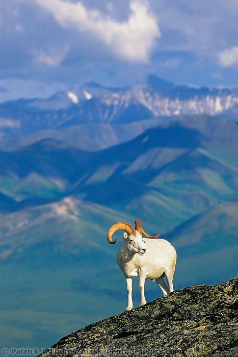 Dall sheep ram stands atop a rock outcrop on a mountain ridge in the Alaska Range, Denali National Park, Alaska