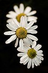 Daisies covered in water droplets against a black background.