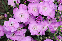 Dianthus Starlight lavender pink flowers