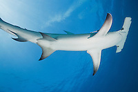 RR1861-D. Great Hammerhead Shark (Sphyrna mokarran), a large and solitary species growing to 20 feet long, found worldwide in tropical seas. Bahamas, Atlantic Ocean.<br /> Photo Copyright &copy; Brandon Cole. All rights reserved worldwide.  www.brandoncole.com