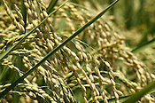 A close up of rice growing in a field, close to harvest time