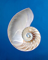 CHAMBERED NAUTILUS SHELL<br /> Nautilus pompilius<br /> A prime example of the Golden Mean logarithmic spiral found in nature, and based on the Fibonacci Series of numbers, the progression in which 2 initial terms are added to form the third.