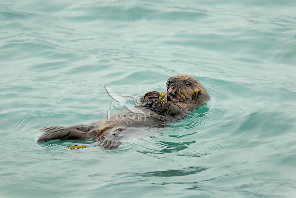 Sea Otter (Enhydra lutris) pup playing with rock weed.