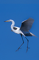525006506v a wild great egret casmerodius albus in flight in southern louisiana