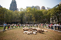 """As part of """"Wool Uncovered"""" a flock of sheep hang out in Bryant Park in New York on Thursday, September 27, 2012. The sheep and the accompanying installation are part of the """"Campaign for Wool"""", a promotional event by the British wool industry to promote wool as a sustainable and natural product and to educate about the benefits of sheep farming. (© Richard B. Levine)"""