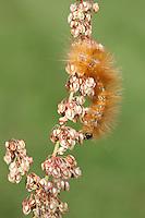 A Salt Marsh Moth (Estigmene acrea)  caterpillar (larva) feeds on Curly Dock (Rumex crispus), Bald Eagle State Park, Howard, Centre County, Pennsylvania