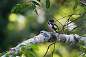 Black-and-yellow Broadbill (Eurylaimus ochromalus) in rainforest canopy. Danum Valley, Sabah, Borneo.