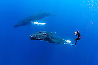underwater photographer and humpback whale, Megaptera novaeangliae, Hawaii, USA, Pacific Ocean, model released