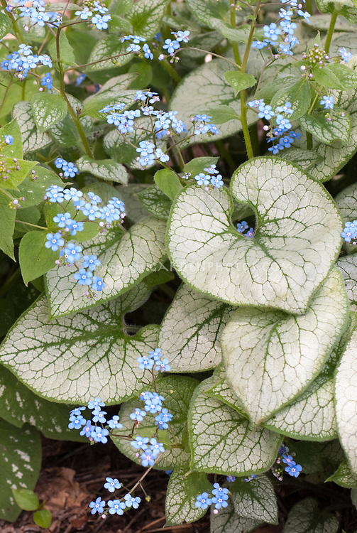 Brunnera macrophylla 'Jack Frost' in flower