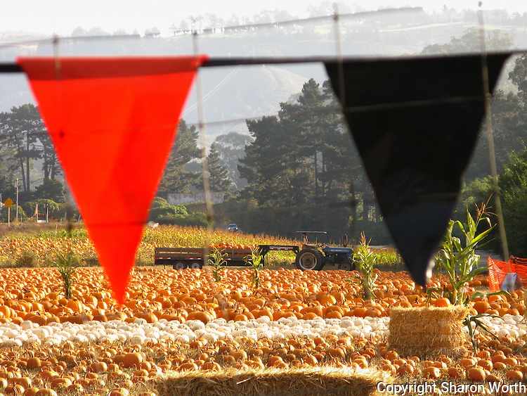 Black and orange pennants frame a field waiting for families to come and pick the perfect pumpkin to turn into a jack-o'-lantern.