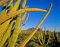 Arms of an organ pipe cactus along Ajo Mountain Drive at Organ Pipe Cactus National Monument, Arizona, AGPix_0234.