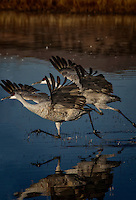 Two Sandhill Cranes running side by side to gather speed for take-off. Early morning, North Chupadera Pond, Bosque del Apache National Wildlife Refuge..