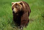 Grizzly bear walking through grass in Alaska