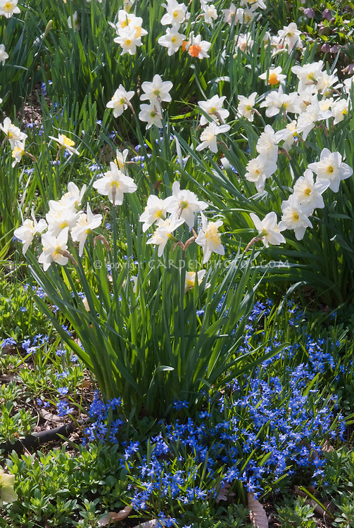 Narcissus Daffodils with Chionodoxa sardensis different spring flowering bulbs together