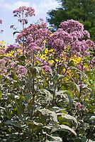 Eupatorium 'Gateway', Eupatorium purpureum ssp. maculatum 'Gateway' atropurpureum type Joe Pye Weed, boneset aka Eutrochium purpureum