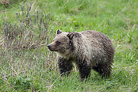 Sub-adult grizzly bear in Yellowstone National Park