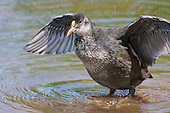 Coot (Fulica atra) Fledgling preening. Still unable to fly, but becoming more independent.  Lancashire, UK