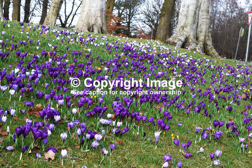 A bank of crocuses in Barnett's Demesne, Malone, Belfast, N Ireland, UK, is a welcome harbinger of spring. 25 February 2009. 200902251837..Copyright Image from Victor Patterson, 54 Dorchester Park, Belfast, UK, BT9 6RJ..Tel: +44 28 9066 1296.Mob: +44 7802 353836.Voicemail +44 20 8816 7153.Skype: victorpattersonbelfast.Email: victorpatterson@mac.com.Email: victorpatterson@ireland.com (back-up)..IMPORTANT: If you wish to use this image or any other of my images please go to www.victorpatterson.com and click on the Terms & Conditions. Then contact me by email or phone with the reference number(s) of the image(s) concerned.