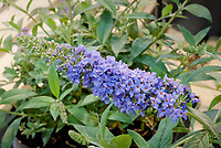 Buddleja 'Buzz Sky Blue' aka Buddleia butterfly bush