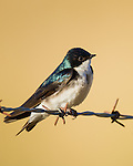 A tree swallow perches on barbed wire, sunning itself in the morning sun