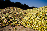 Piles of rotting pears discarded by the Scully Packing Company in Finley, CA on Tuesday, September 12, 2006. The plant typically discards less than a truckload a season, while this season Ð due to a lack of laborers Ð they're discarding 4-6 truckloads per day. Stepped-up border enforcement has led to a shortage of migrant labor which has left much of the pear crop rotting on the tree and ground in Lake County.