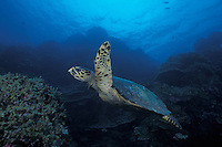 A Hawksbill Turtle, Eretmochelys imbricata, cruises over a shallow reef. Surin Islands Marine National Park, Thailand, Andaman Sea