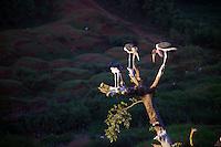 Marabou stork, a common sight in Kenya, sitting in a tree in Kisii, Kenya.
