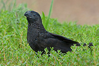 506100065 a wild groove-billed ani crotophaga sulcirostris perches in tall grasses on a ranch in the rio grande valley of south texas