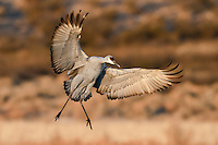 Sandhill Crane landing