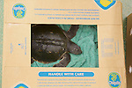 Stranding Sea Turtle In Boxe Ready For Transport, Welfleet Bay Wildlife Sanctuary, Audubon