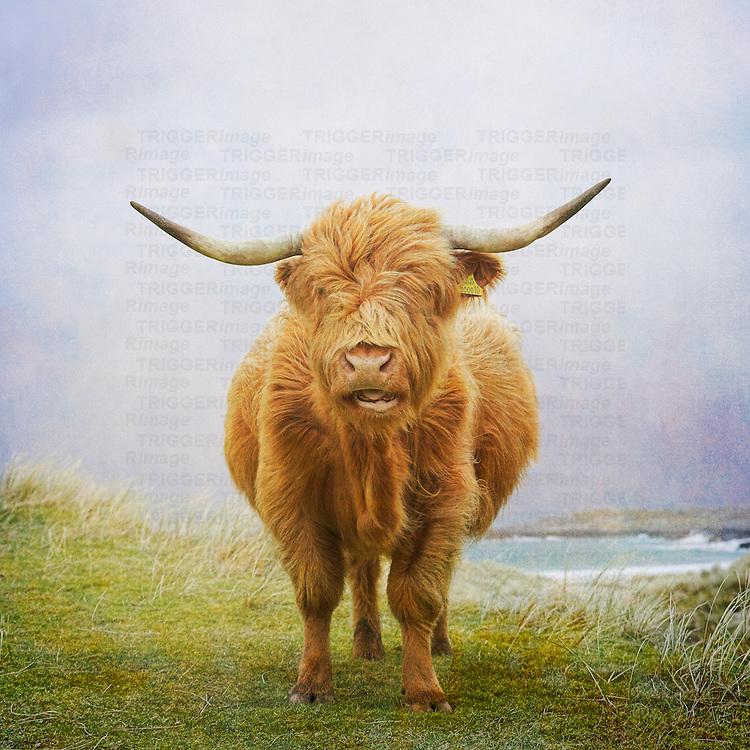 Highland cow, Hebrides
