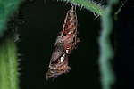 Comma Butterfly, Polygonia c-album, pupae, chrysalis, cocoon, hanging from stinging nettle, foodplant, brown.United Kingdom....