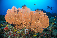 A distant diver seems dwarfed by this large Gorgonian Fan Coral, Annella mollis, Narcondam Island, Andaman Islands, Andaman Sea, India