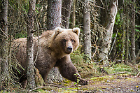 Brown bear in the forest, Katmai National Park, southwest, Alaska.