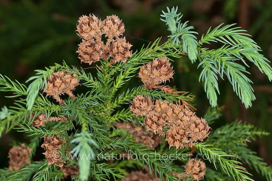 Japanische Sicheltanne, Sichel-Tanne, Cryptomeria japonica, Japanese Cedar